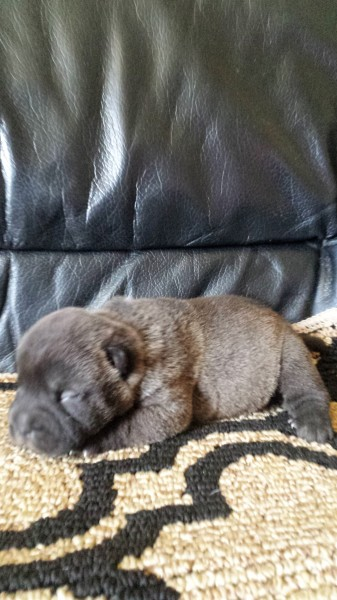 Available - Silver Sable Female @ 2 Weeks