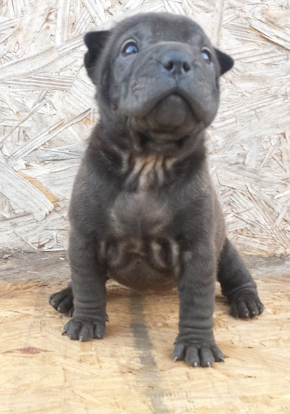 Available - Silver Sable girl @ 4 Weeks 3 Days