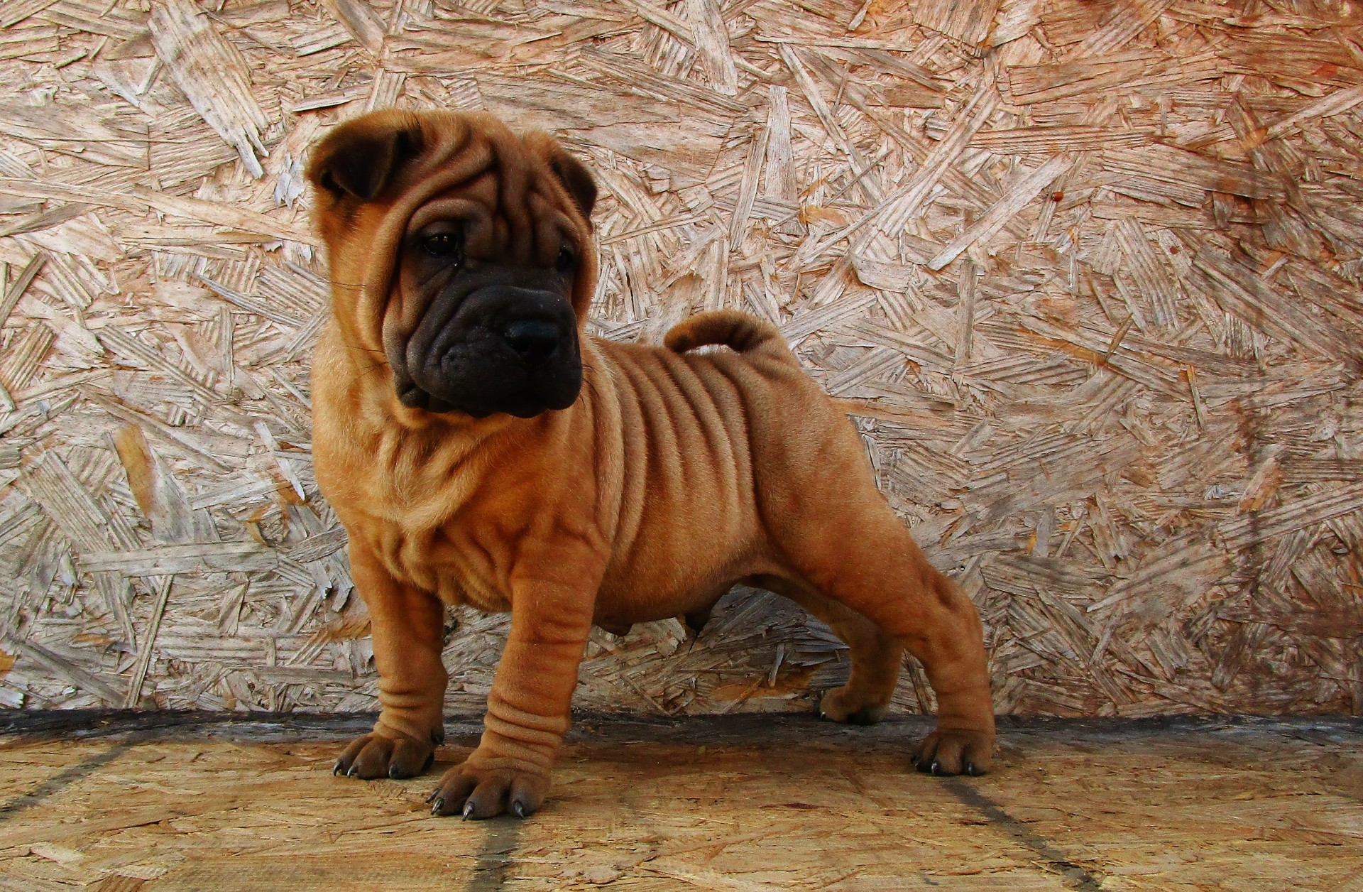 Mini Fawn Shar Pei with a black Mask