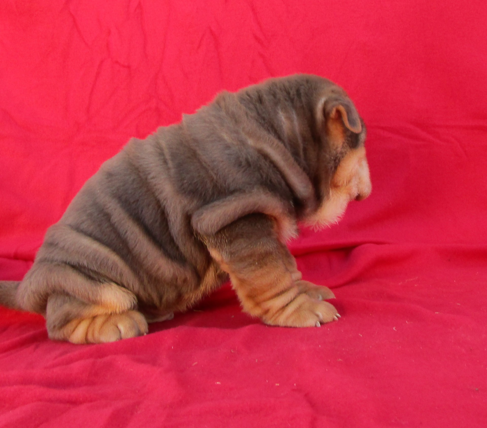 Mini Chocolate and Tan Pointed Shar Pei