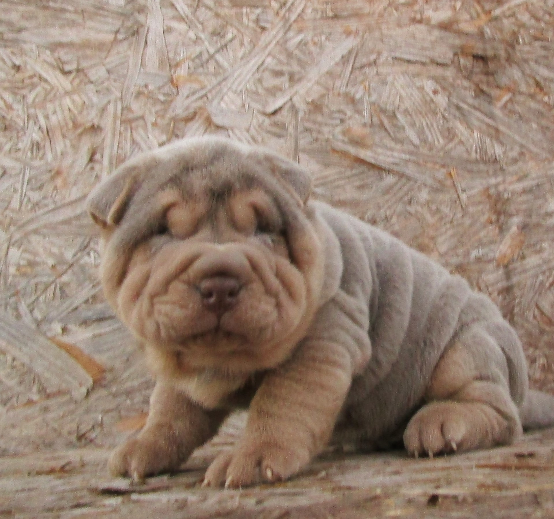 Miniature ​Lilac and Tan Pointed Shar Pei