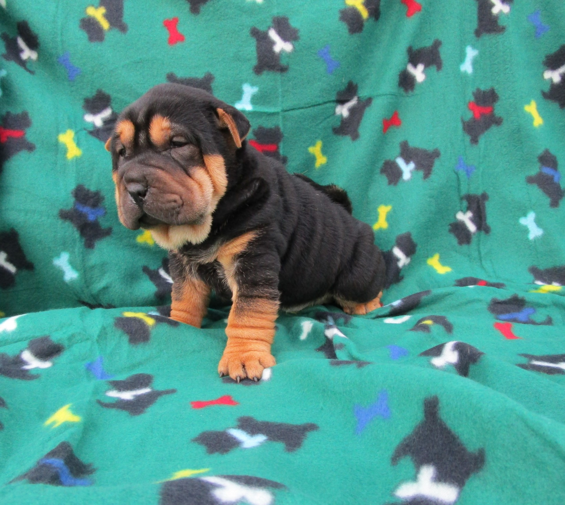 Mini Black and Tan Pointed Shar Pei