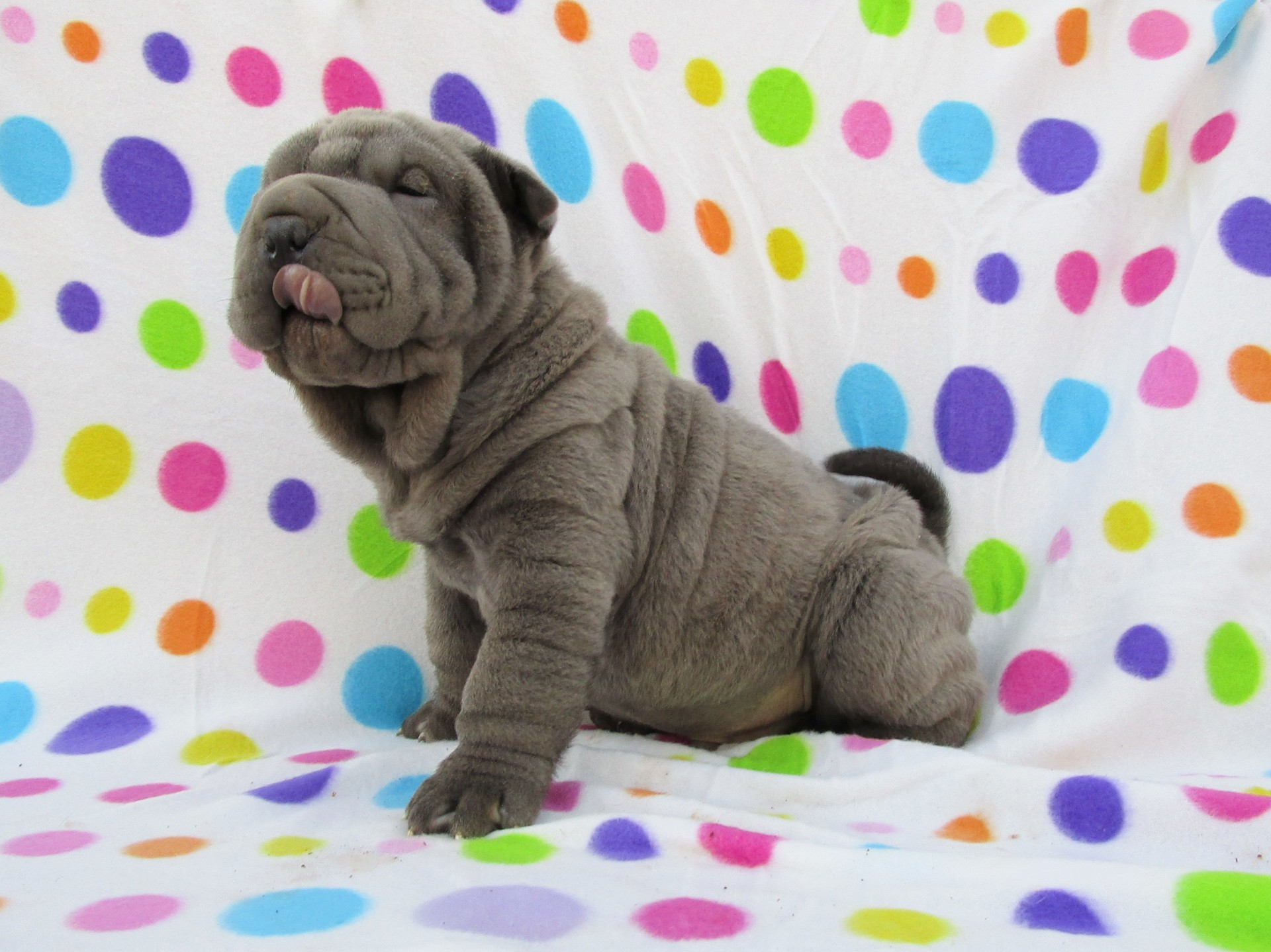 Miniature Blue Shar Pei