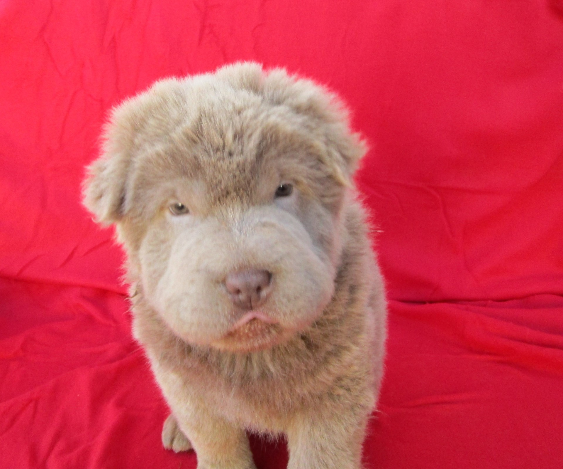 Lilac Bear Coat Shar Pei