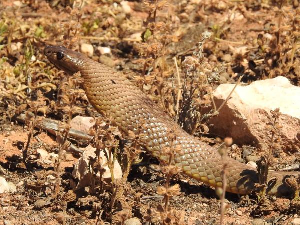 Strap-snouted Brown Snake - Pseudonaja aspidorhyncha