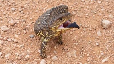 Shingleback Lizard Mungo National Park