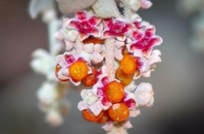 Cottony Saltbush