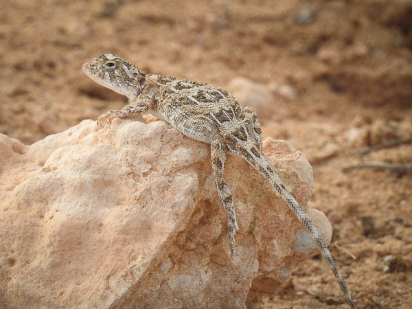 Lined earless dragon - Tympanocryptis lineata