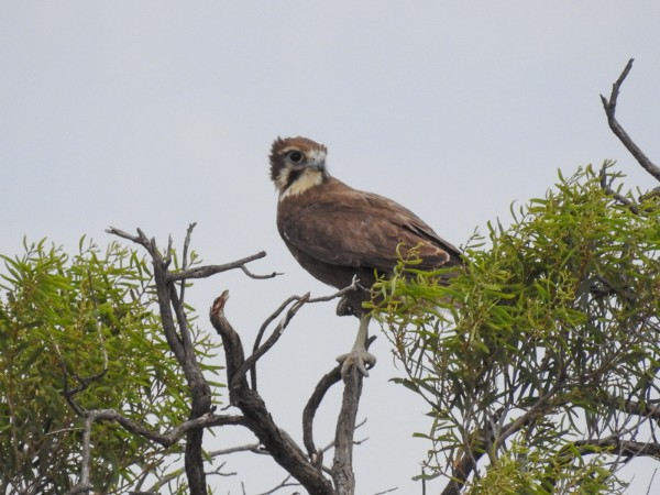 Brown Falcon Mungo