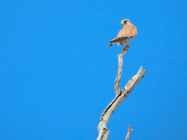Nankeen Kestrell - Falco cenchroides