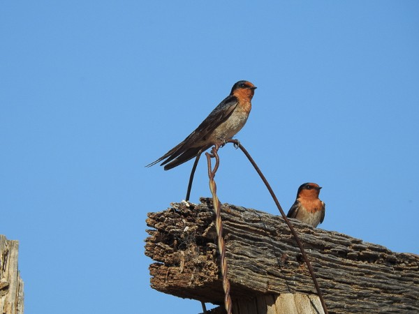 Welcome Swallow - Hirundo neoxena