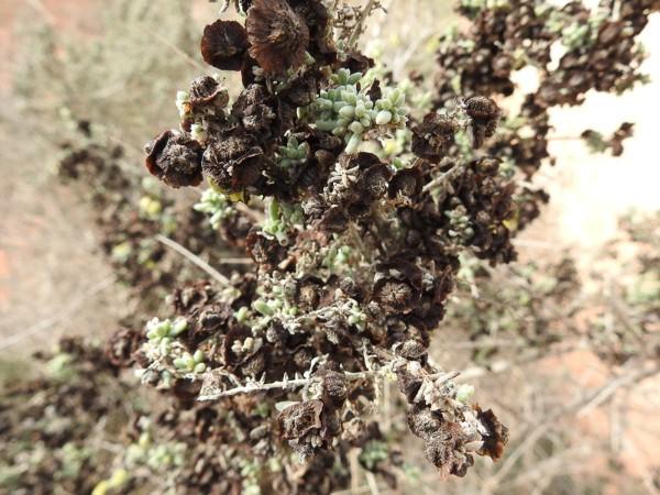 Black Bluebush - Maireana pyramidata