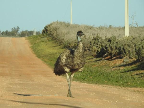 Emu -  Dromaius novaehollandiae