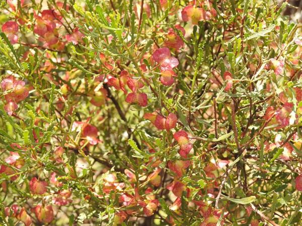 Hop-bush