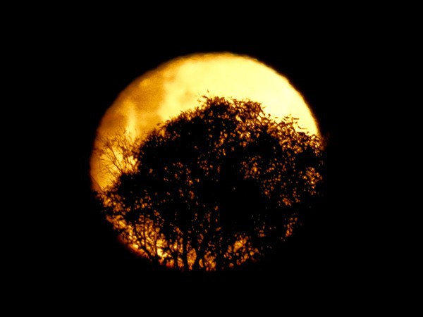 Full Moon behind Mallee Trees
