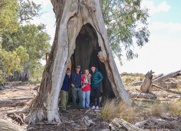 Yanga Teepe Tree