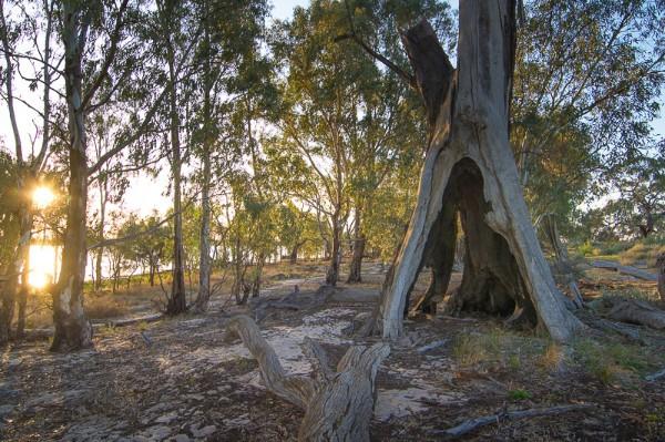 Teepe Tree