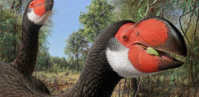 An artist's reconstruction of what the giant bird Dromornis would look like. Author:Peter Trusler