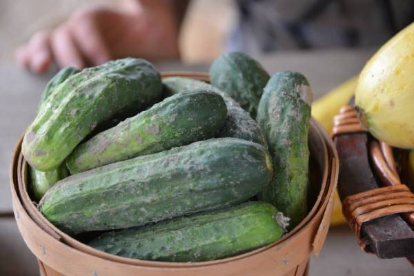 Fresh Pickling Cucumbers