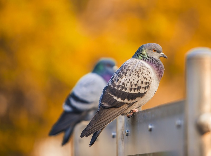 Sponsor A Pigeon
