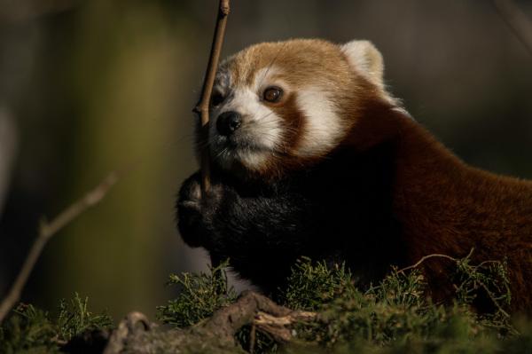 Rode Panda Blijdorp