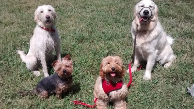 Labradoodle, Yorkshire Terrier, Golden Retriever, Cockapoo, Obedience Stay Training