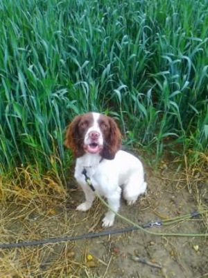 Springer Spaniel recall and stop obedience training