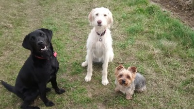 Labradoodle Yorkshire Terrier Labrador Sit Stay Obedience Training