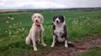 Labradoodle and Border Collie Sit Stay Obedience Training