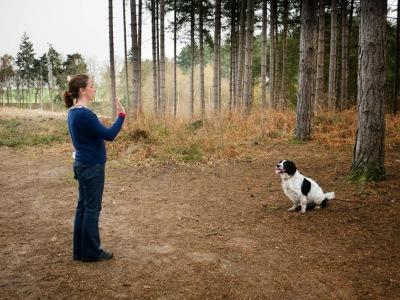 Springer / Cocker Spaniel (Sprocker) recall, sit and stay, multi-dog training