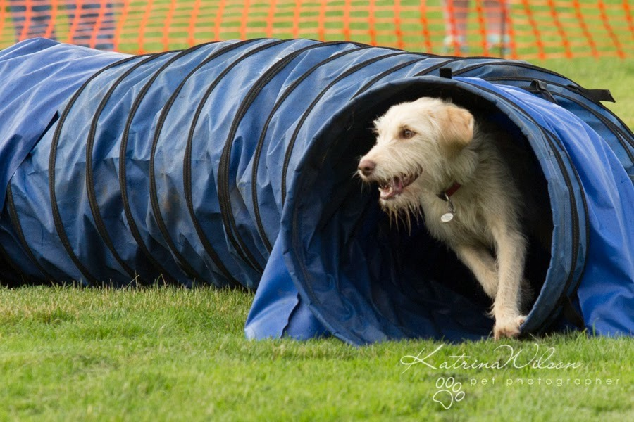 Labradoodle agility training learn the basics first