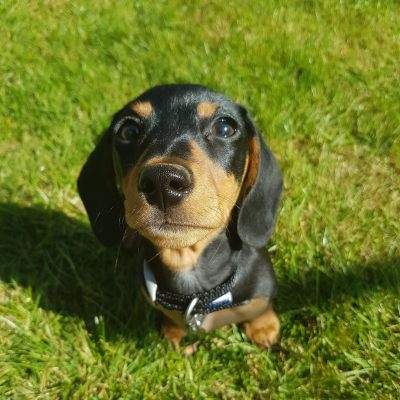 Miniature and Small Dog Training Support and Advice Dog Training Eye Contact Focus Attention Denise Price Bedfordshire