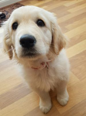 Golden Retriever Puppy Training in your home Dog Training Eye Contact Focus Attention Denise Price Bedfordshire