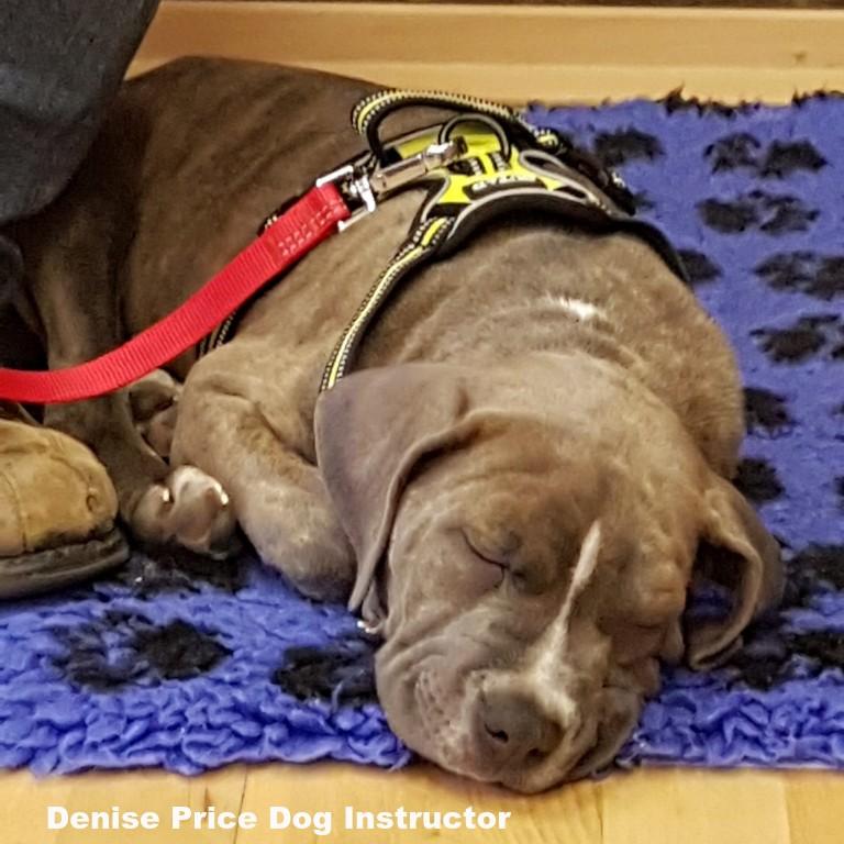 Sleeping-puppy