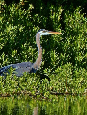 Great Blue Heron lives near our shop