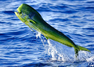 A bull Mahi Mahi, considered the most beautiful fish in the sea, takes to the air!