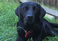 Black Labrador resting