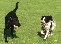 Springer & Labrador running