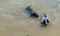 Chocolate lab & springer swimming