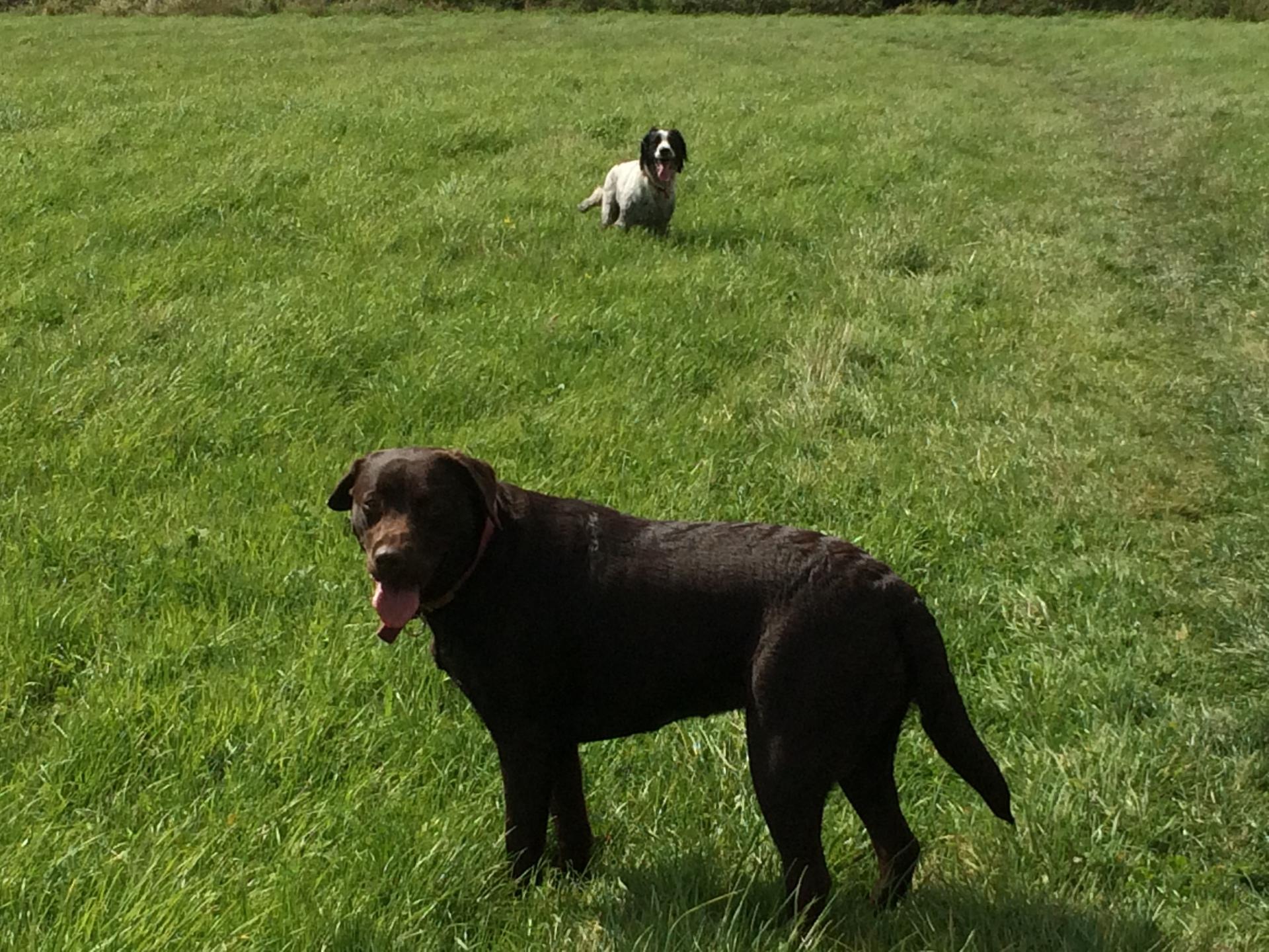 Chocolate Labrador on walk