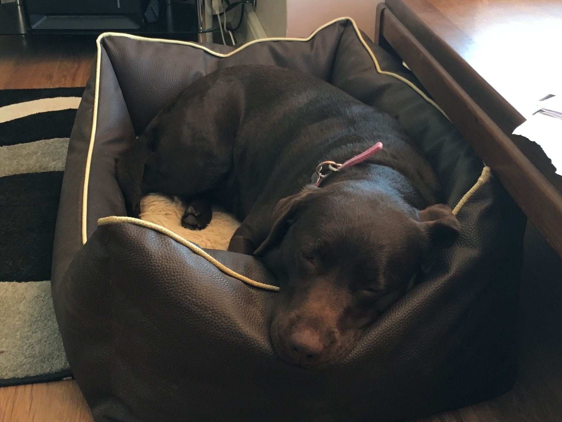 Chocolate Labrador in bed