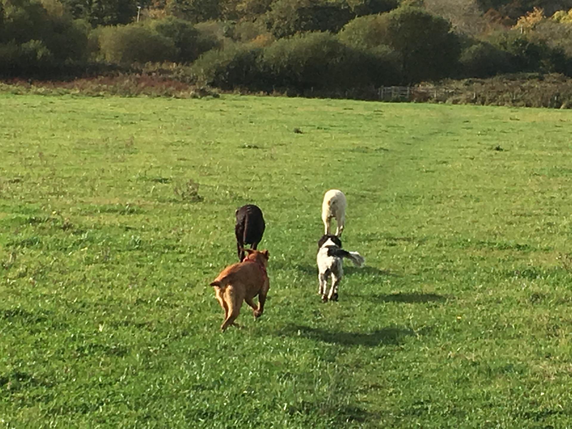Labradors & Springer