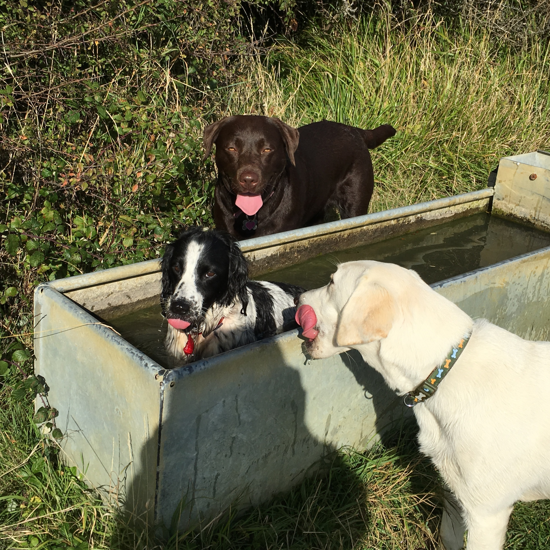 Dogs in water trough