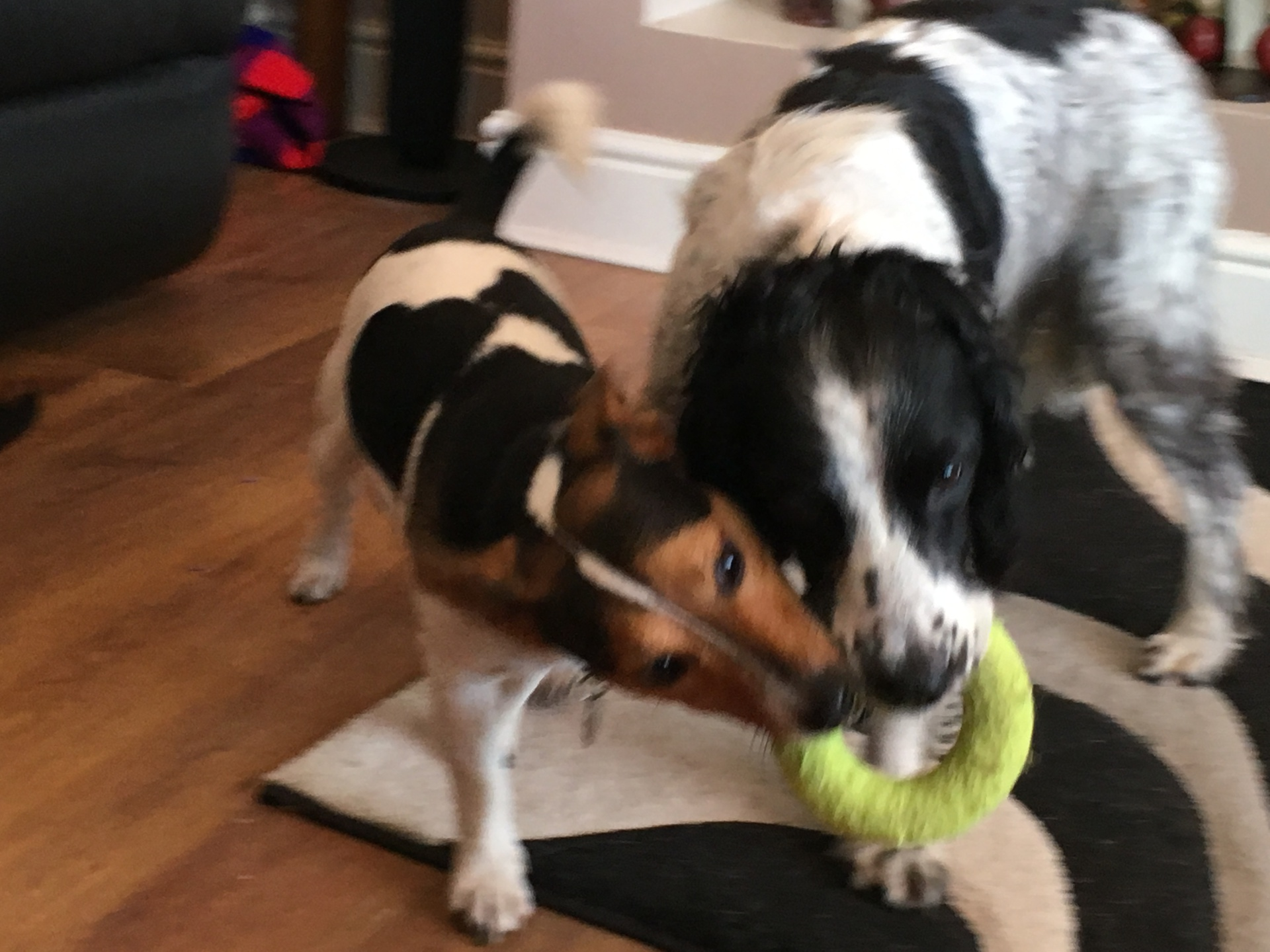 Springer and Jack Russell playing