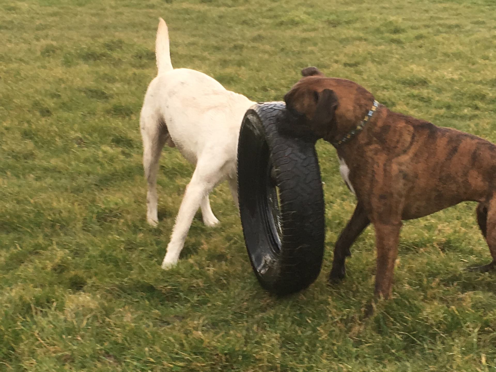 Dogs playing with tyre