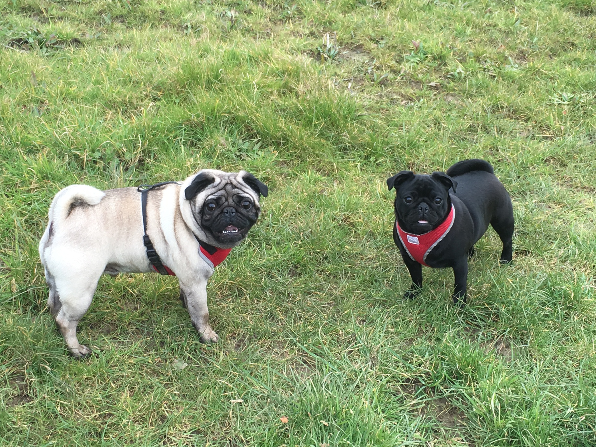 Black and fawn pugs