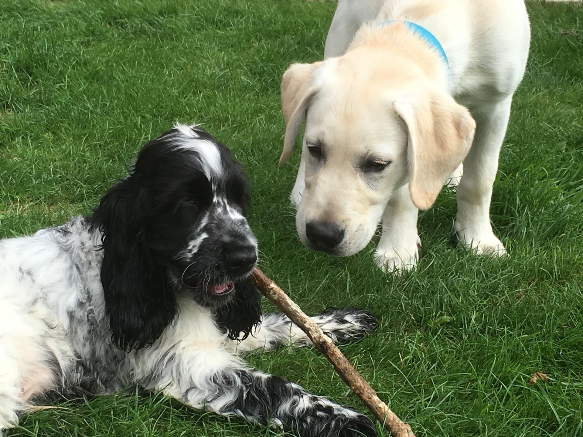 Cocker Spainel & Labrador Puppies