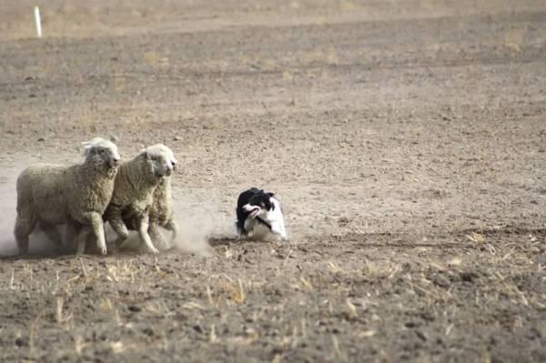 Christian handling range ewes
