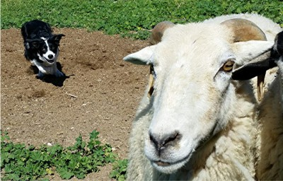 Corrie herding