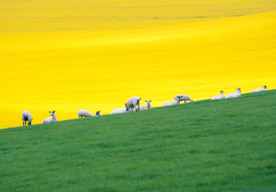 Grass, Sheep, Rape